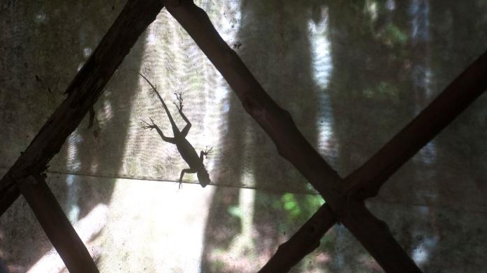 24 junglesalamander